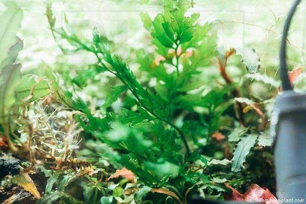 tanaman aquscape