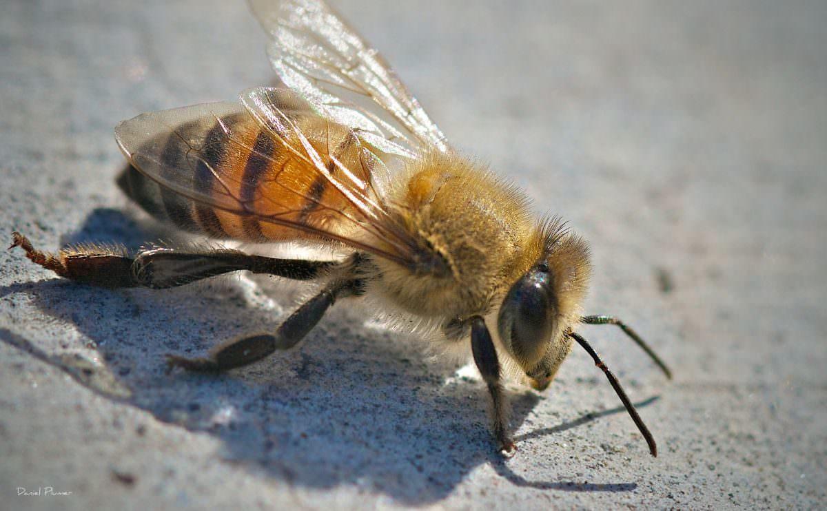 serangga mematikan