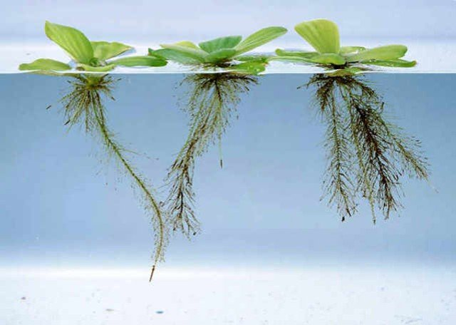 tanaman penjernih air kolam