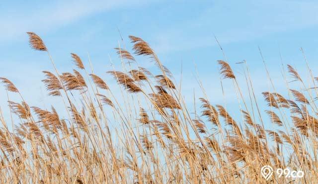 7 Jenis Alang Alang Ini Bisa Dijadikan Tanaman Hias Lo Bukan Gulma