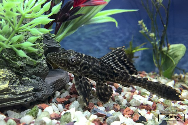 Ikan Pembersih AquascapeTerbaik