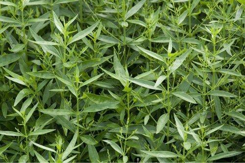 tanaman obat asam urat