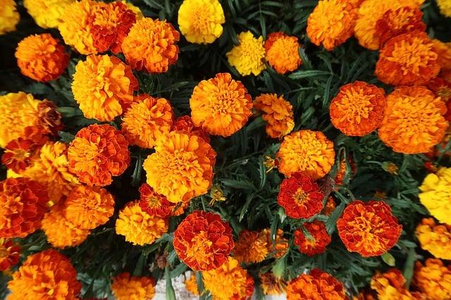 arti bunga marigold