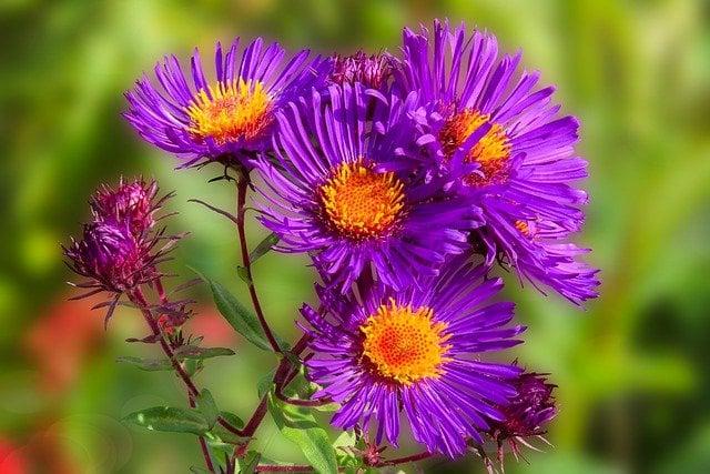 menanam bunga aster