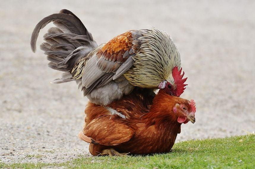 ayam kampung kawin
