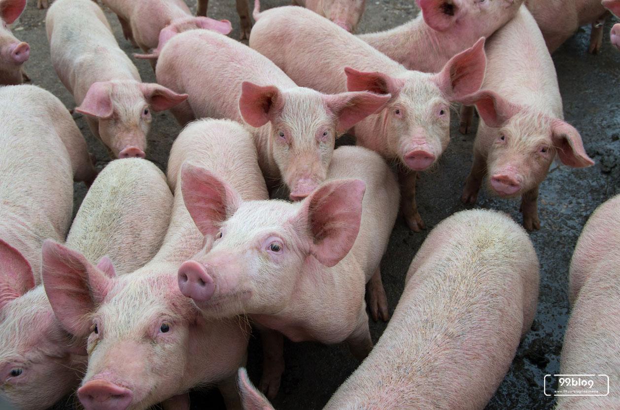 babi barang dagangan utama