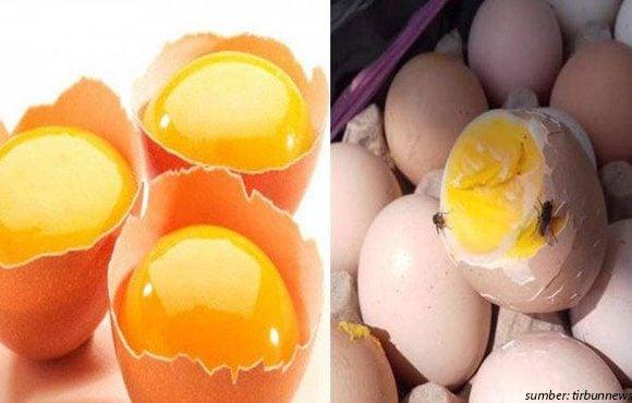 bahaya telur infertil