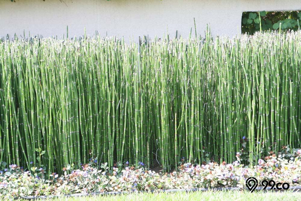 tanaman bambu air hias