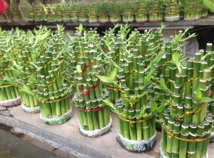 pohon bambu hoki