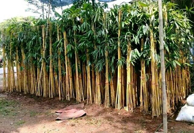 tanaman penangkal ilmu hitam bambu kuning