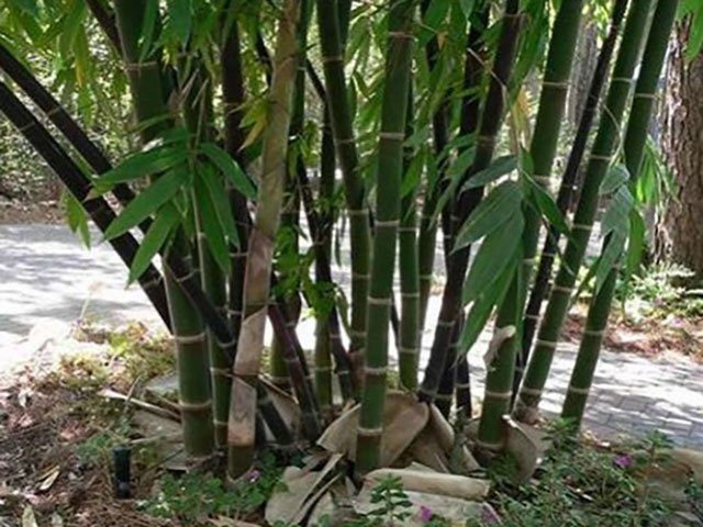 jenis bambu hias siam