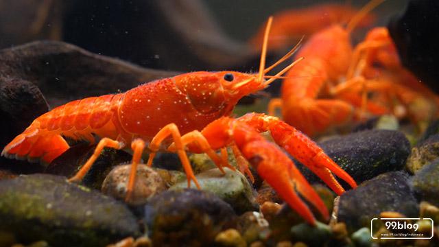 benih lobster indonesia