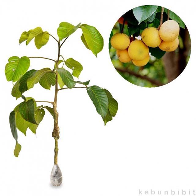 bibit buah kecapi