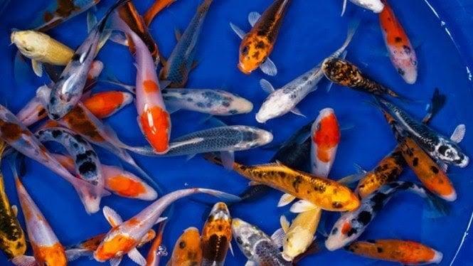 10 Cara Memelihara Ikan Koi Untuk Pemula Panduan Lengkap Mudah