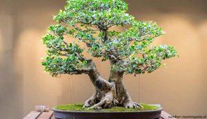 bonsai asam jawa
