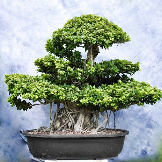 bonsai kimeng unik indah