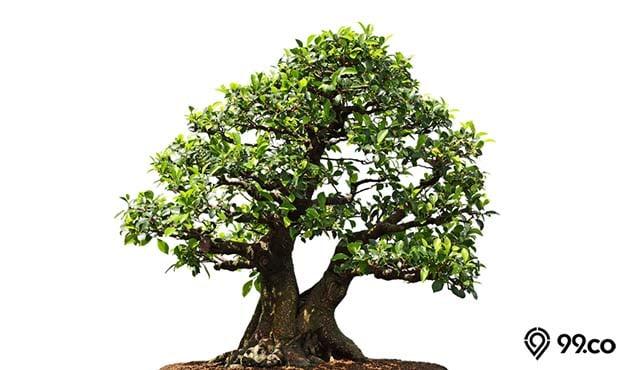 bonsai kimeng