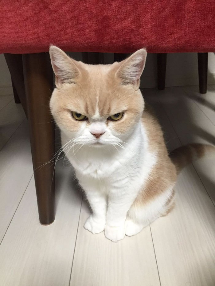 gambar kucing marah lucu