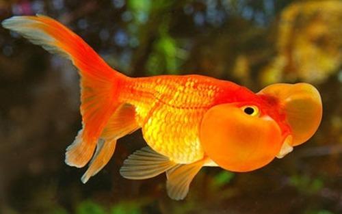 ikan hias cantik tapi murah