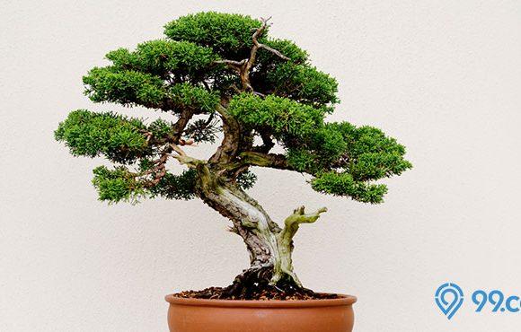 budidaya bonsai