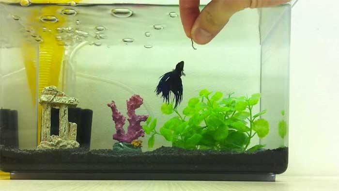 Budidaya Ikan Cupang Peluang Usaha Rumahan Yang Menjanjikan