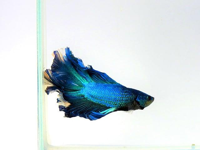 Cara Budidaya Ikan Cupang Di Rumah Untuk Pemula Mudah