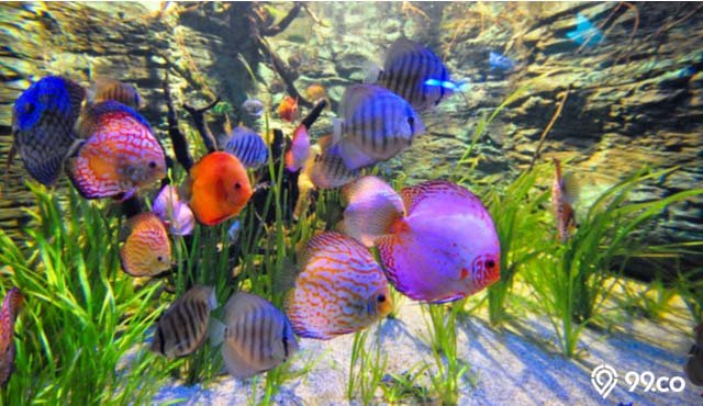 5 Tips Budidaya Ikan Discus Peluang Bisnis Yang Menggiurkan Lo