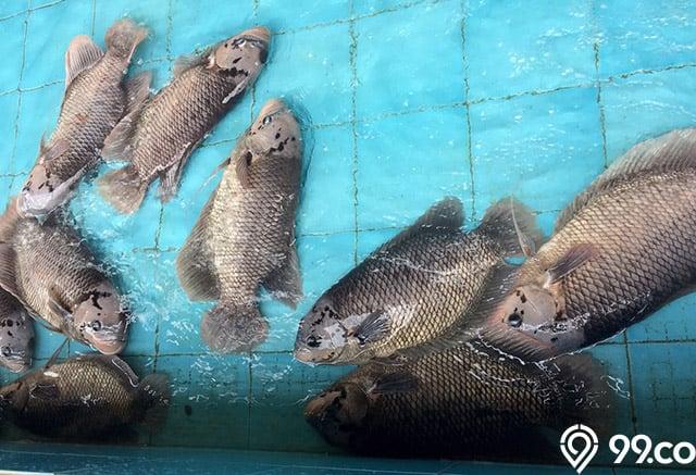 mencegah penyakit ikan gurame
