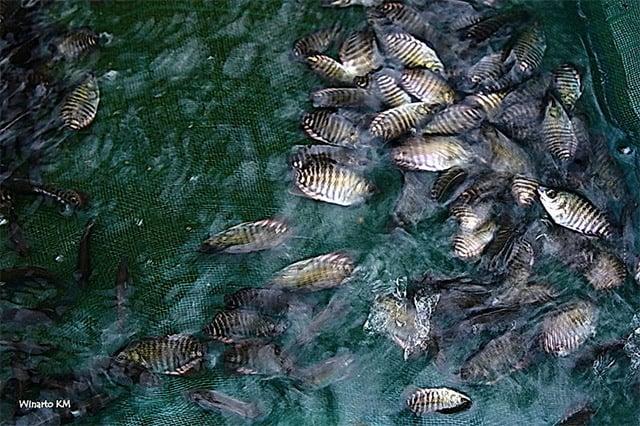 jumlah ikan gurame dalam satu kolam