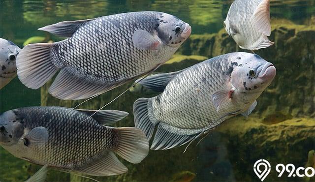 7 Tips Budidaya Ikan Gurame Untuk Pemula Peluang Bisnis Menggiurkan