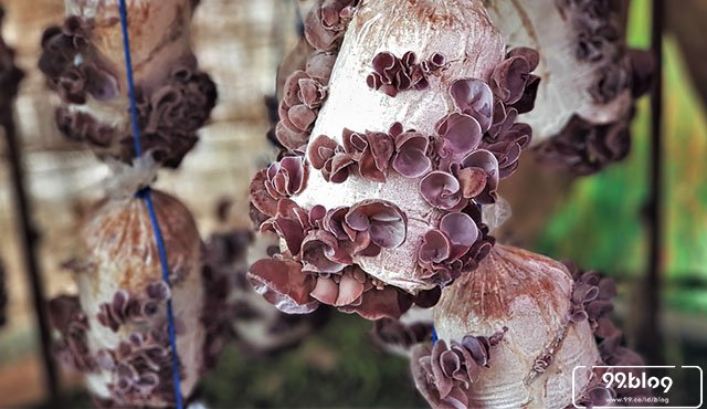 Budidaya Jamur Kuping Di Halaman Rumah Begini Caranya