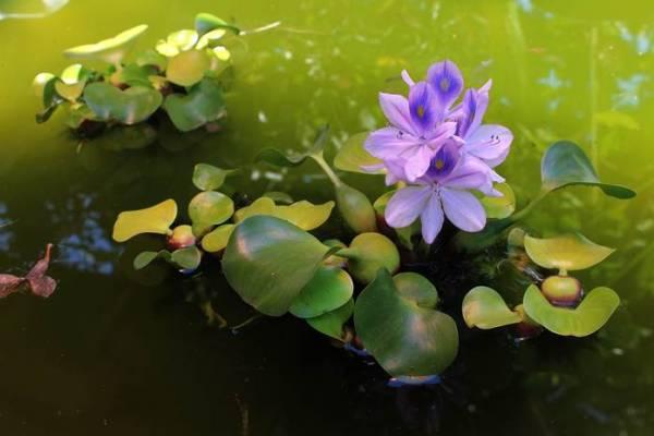 7 Jenis Tanaman Hias Yang Hidup Di Air Kamu Lebih Suka Yang Mana