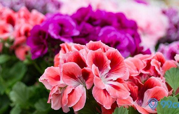 cara merawat bunga geranium