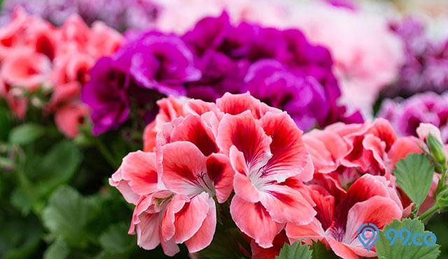 7 Langkah Menanam dan Merawat Bunga Geranium yang Cantik. Simpel Banget!