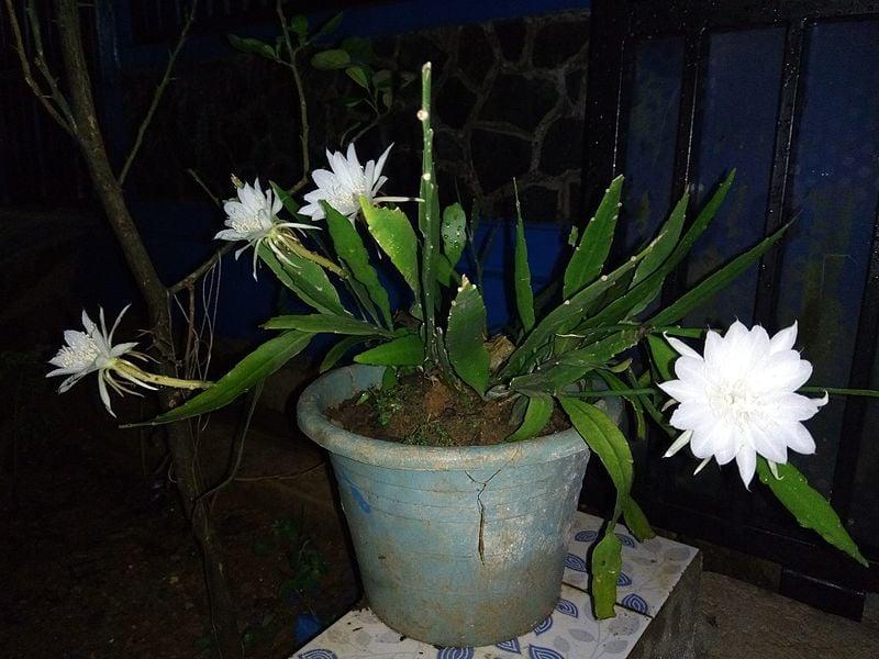 bunga wijaya kusuma