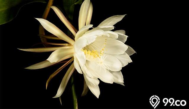 Legenda Bunga Kadupul, Kembang Termahal di Dunia. Hanya Mekar Dua Jam!