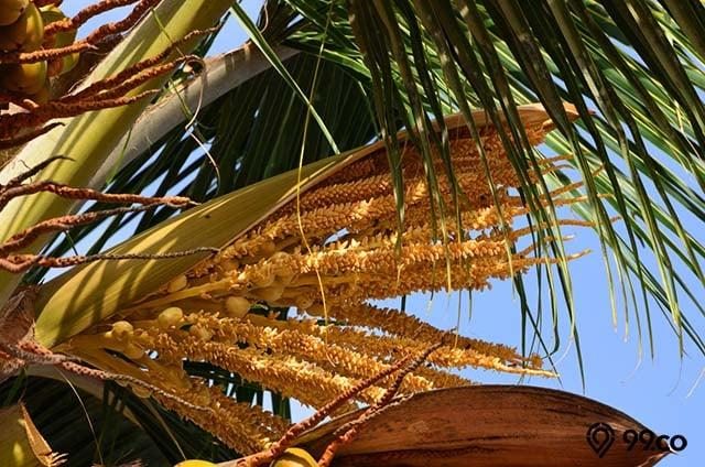 manfaat bunga pohon kelapa