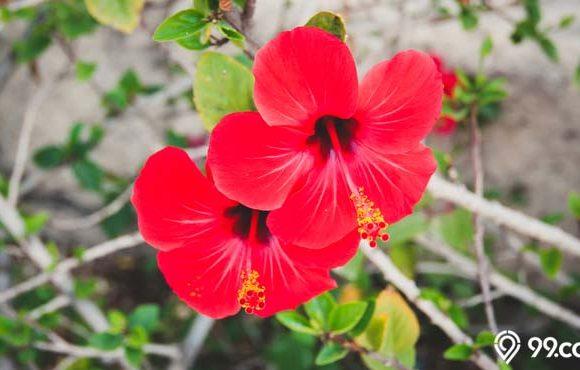 manfaat bunga kembang sepatu