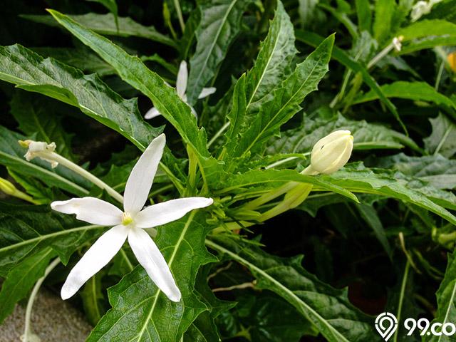 Bunga Kitolod Punya Khasiat Dan Bahaya Yang Jarang Orang Tahu