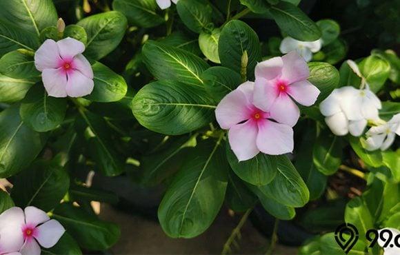 cara menanam bunga vinca