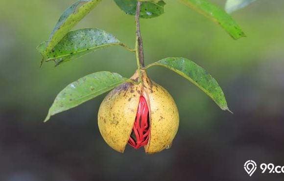 cara budidaya buah pala