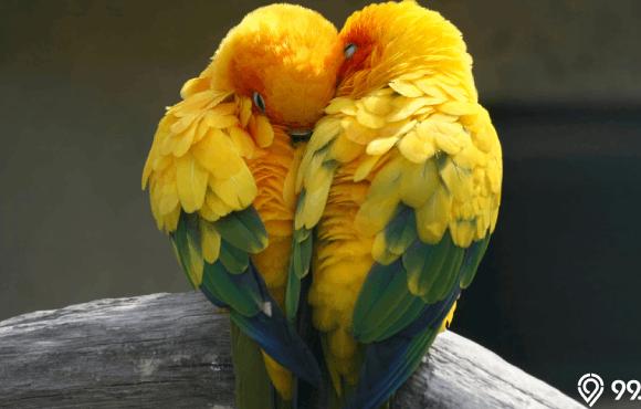 cara membedakan lovebird