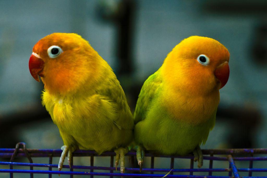 8 Cara Membedakan Lovebird Jantan Dan Betina Bisa Dari Perilaku