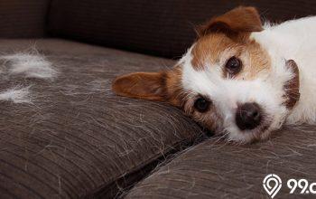 cara membersihkan sofa dari bulu hewan