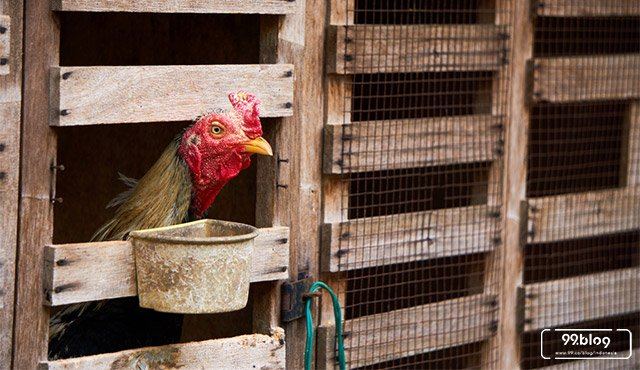 cara membuat kandang ayam