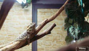 cara memelihara iguana