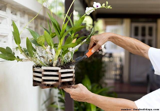 cara menanam anggrek