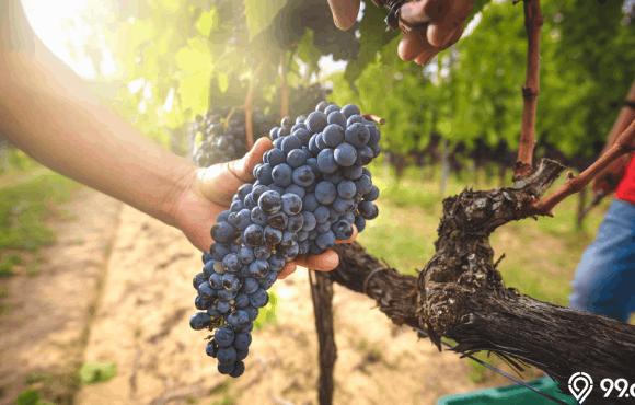 cara menanam anggur