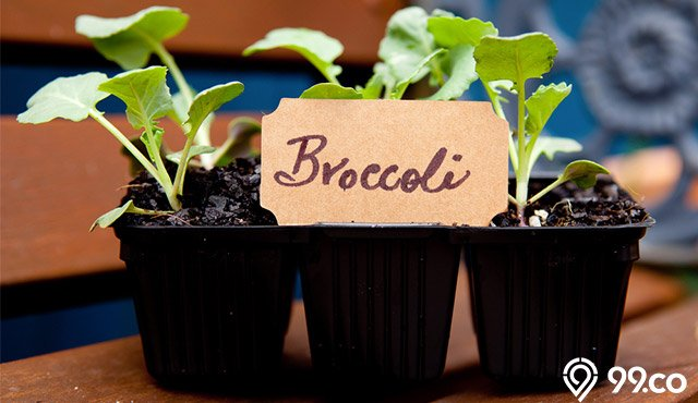 Cara Menanam Brokoli dalam Pot dan Polybag di Pekarangan Rumah. Cepat Tumbuh!