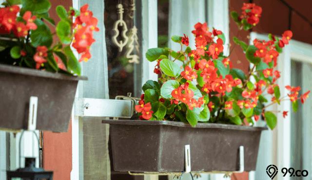 cara menanam bunga begonia